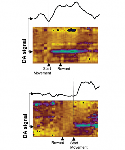 Dopamine (DA) signals in Nucleus Accumbens with and without movement. Top panel shows a behavioural trial where movement is initiated to collect reward. Bottom panel shows a trial where movement is withheld until after reward delivery.